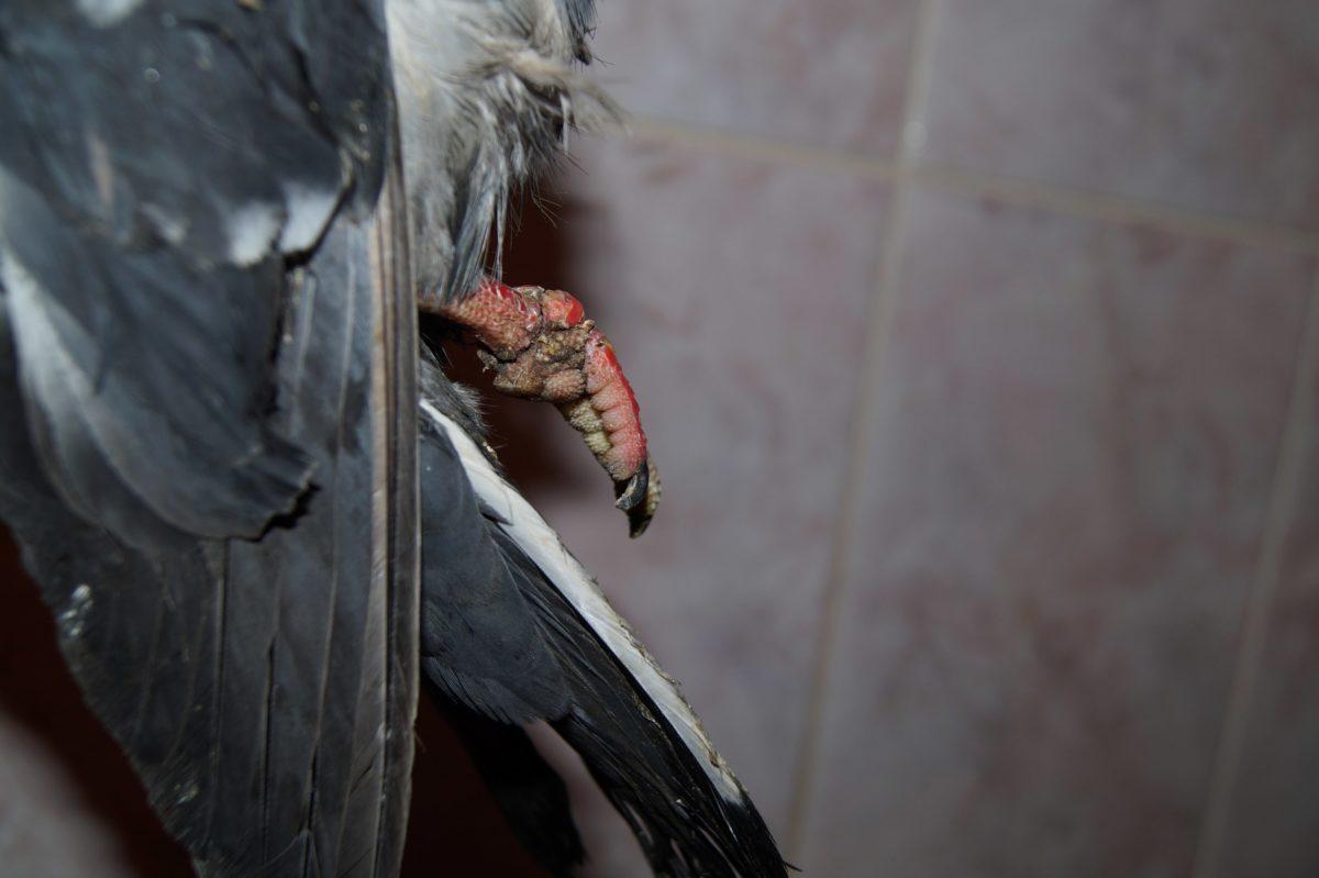 lppka-ranenogo-golubya